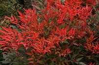 Modern Low Maintenance Plants - Gulf Stream Heavenly Bamboo